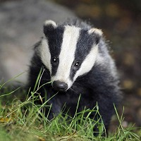 Stop The Badger Cull